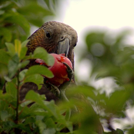 Glenfern Sanctuary: Kaka making the most of the fruit trees in the gardens of Ftizroy House