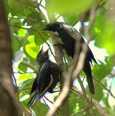 Glenfern Sanctuary: Tui and chick, it takes about a year for a tui to grow it's white wattle feather!