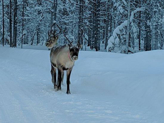 Reindeer we saw when leaving the resort
