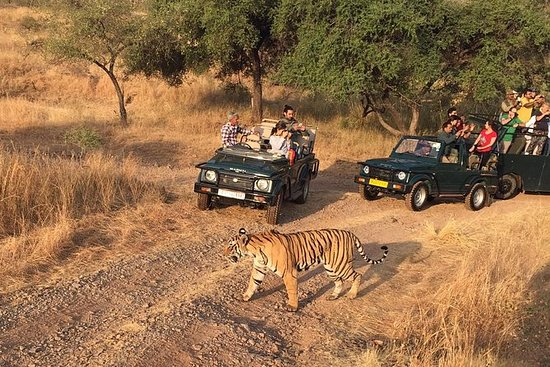 金三角之旅与Ranthambore老虎野生动物园