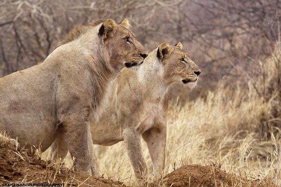 Marche du lion et du guépard