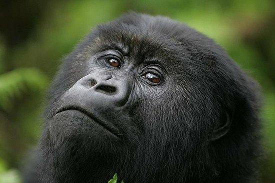 TREKKING GORILA - 4 DIAS UGANDA