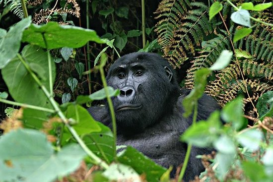 3 days Uganda Gorilla safari tour...