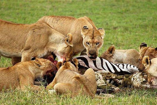 8 dagar Tanzania Budget Camping Safari