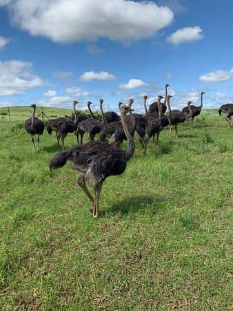 Experiência Mini Safari e Zulu Cultural - Day Tour: The ostrich family was a little reluctant to let us come close.  Still, we got some good pictures.
