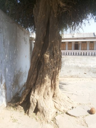 Patan District, อินเดีย: The ancient tree.Watch the twigs formation.
