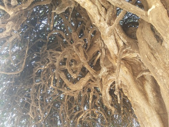 Patan District, อินเดีย: The ancient historical tree is a rare phenomenon to be viewed.