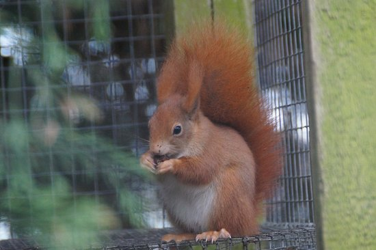 Lingfield, UK: Red Squirrel.