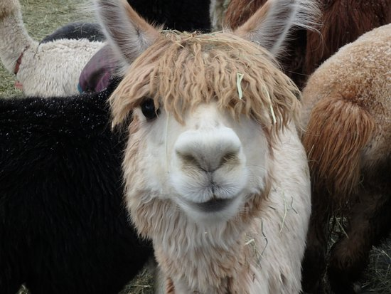 Alpagas du Domaine Poissant: Alpaga