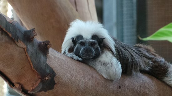 Bundaberg, Australia: Meet Turbo the cotton-top tamarin!  Turbo and her mum Solita can be found in the barn, where they can often be seen leaping throughout their enclosure showing off their high levels of agility.
