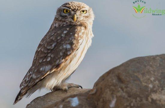 Paro, Bhutan: Little Owl