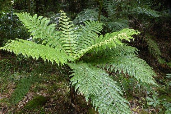 Waikato Region, New Zealand: Native NZ ponga tree fern