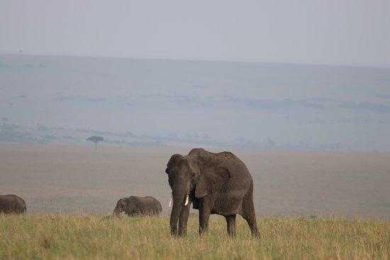African Comfort Zone Safaris: Elephants in the Maasai Mara Game Reserve