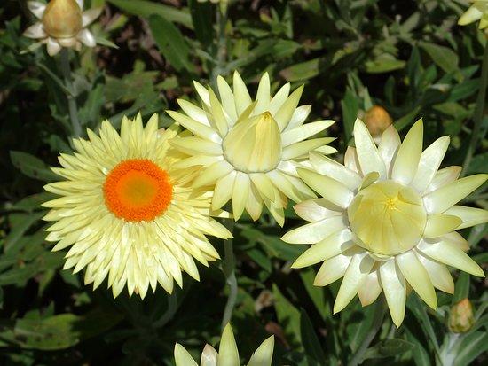 Cranbourne, Australien: Everlasting daisies