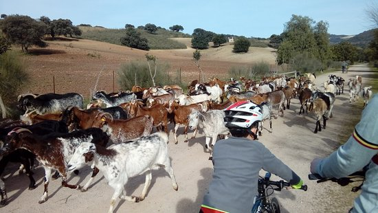 Andalucian Cycling Experience Day Trips: Fun cycling amongst the goats.