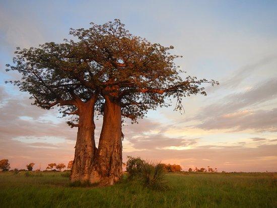 Okavango Delta: Baobabs at sunset