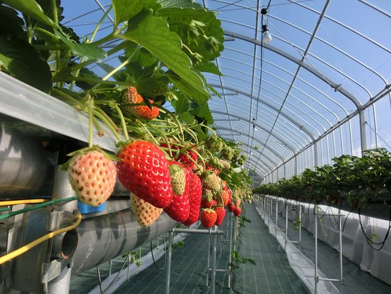 Strawberry Farm No.15 by The Farm Universal Osaka