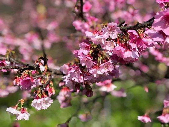 Cherry Blossoms Lane 42 Pingjing Street