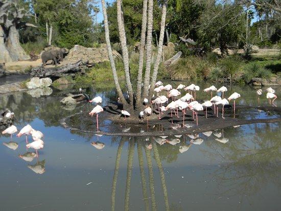 Disney's Animal Kingdom: Flamingo's