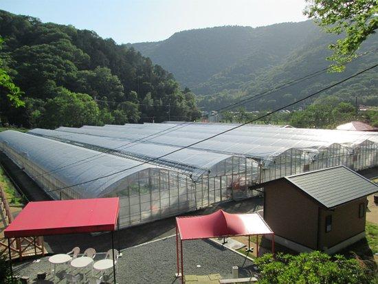 Himeji, Japan: 7棟のビニールハウスの中に21,000株のいちごが元気に育っています