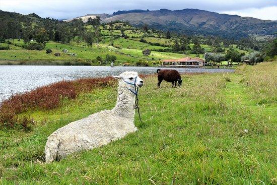 Giron, Ecuador: Llamas on the laguna shoreline