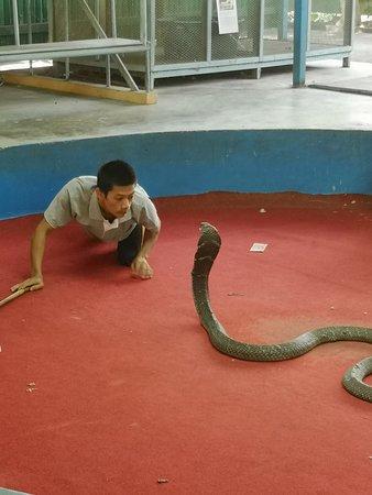 Phuket Cobra Show and Snake Farm: Cobra rempli de cicatrices