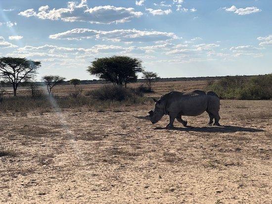 Khama Rhino Sanctuary: un rinoceronte ha deciso di avvicinarsi molto al nostro veicolo... bellissimo!
