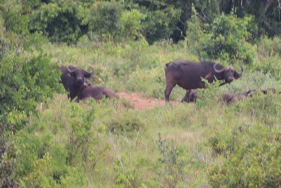 Kwale, Kenya: shimba hills buffel familie