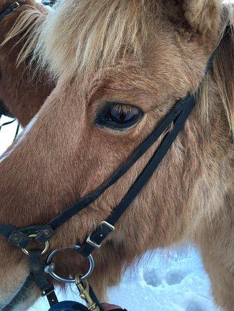 Фотография Icelandic Horseback Riding Tour from Reykjavik