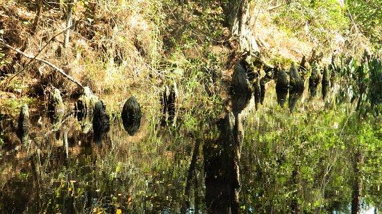 Pahokee, FL: Cypress stumps and marsh