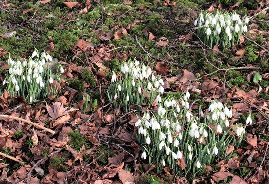 Cerne Abbey: Snowdrops