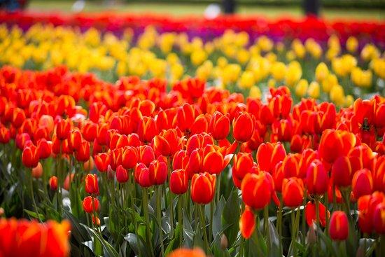 Silvan, Austrália: Tulip Festival