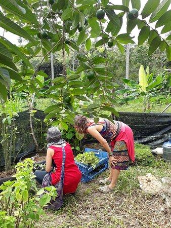 Frutos Pachamama: Visitas en la Finca descubriendo los Usos Medicinales de algunas plantas. Farmacia Ancestral en la finca.