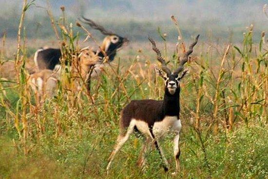 Samme Dag Jeep Safari For Blackbuck...