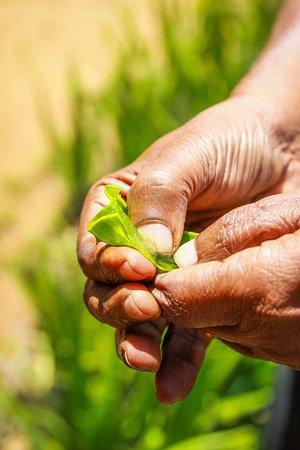 Nawalapitiya, Sri Lanka:  Aloe Vera