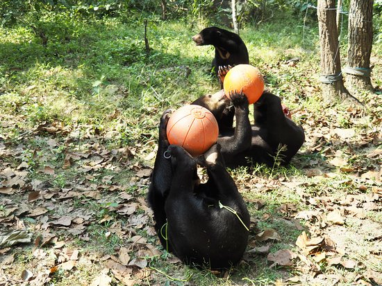 Phnom Penh, Cambodge : Sun bears with their enrichment treats (except for the one at the back who was too slow an missed out!).