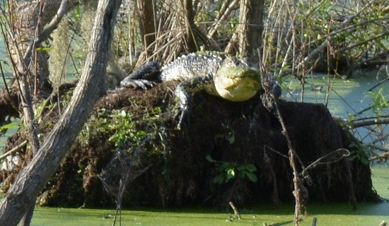 Circle B Bar Reserve : Upclose to a wild gator