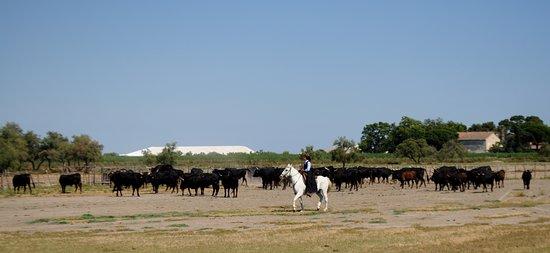 Aigues-Mortes, France : Visite de la manade avec panorama sur les camelles....