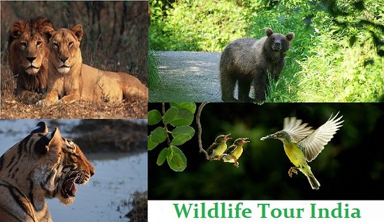 Jim Corbett National Park, Indie: At Perfect Travel we offer the best Wildlife trips in India! Start your journey with Capital city Delhi influenced by 1630s Mughal Empire and British Architecture followed by call of the Wild at Corbett National Park with Dhikala Core Zone. A perfect short Wildlife tour.  https://bit.ly/2W8iHDN