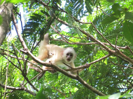 """White-fronted Capuchin Monkey found with Caribbean Discovery Tours in the """"Bush Bush"""" at Nariva Swamp."""