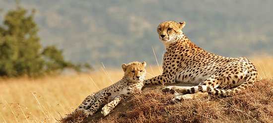 Serengeti National Park, Tanzania: The tour will take you to visit and explore 4 of the Northern parks of Tanzania for 1 night Tarangire, 1 night Manyara, 1 night Serengeti and 1 night Ngorongoro. All the parks are home to small and large animals including birds and reptiles. You will enjoy and experience nature, wildlife, habit and habitat of the fauna and flora in the natural areas, also peoples and culture. contact us through info@uniquejungletours.com