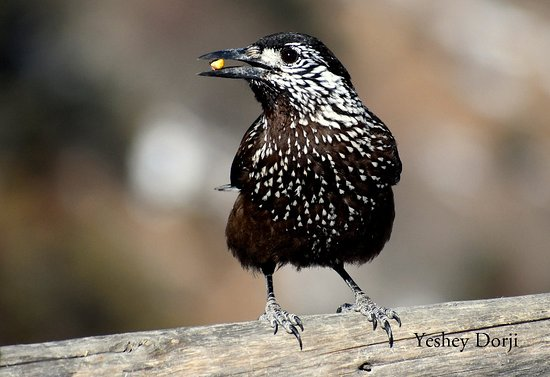 Chele La Pass : Spotted Nutcraker  At 3988 meters  It was so amazing that we countered 34 Himalayan Vulture and many other species. For Birding Tours