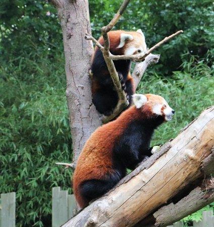 Red Pandas at Dublin Zoo