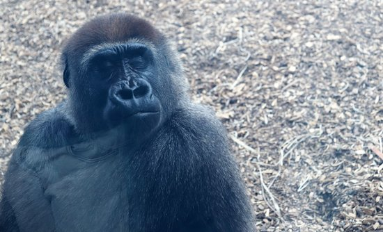 Gorilla at Dublin Zoo