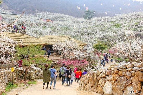 光阳Maewha Festvial和Jeonju Hanok...