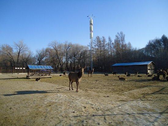 Jiamusi, China: олени