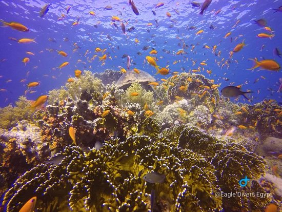 Eagle Divers Egypt: Jackson Reef turtle spotting