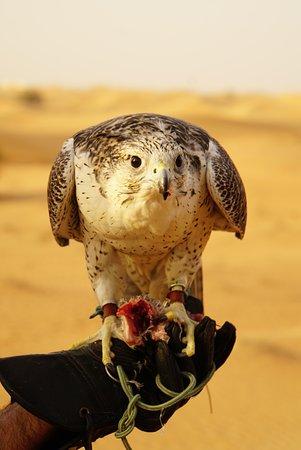 Small-Group Tour: Falcon 2—Dubai Falconry Safari: Chinook