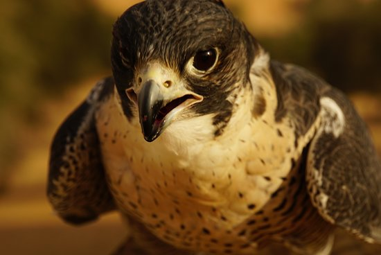 Small-Group Tour: Falcon 2—Dubai Falconry Safari: Pandora