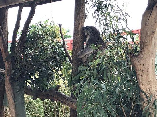 Grantville, ออสเตรเลีย: This koala cracks me up heh